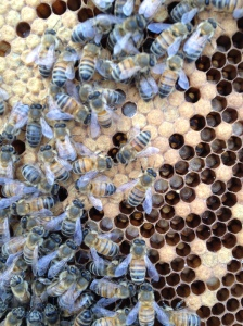 In the bottom super was the queen, capped brood and larvae.