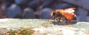 Water bee